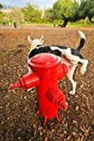Dog at hydrant
